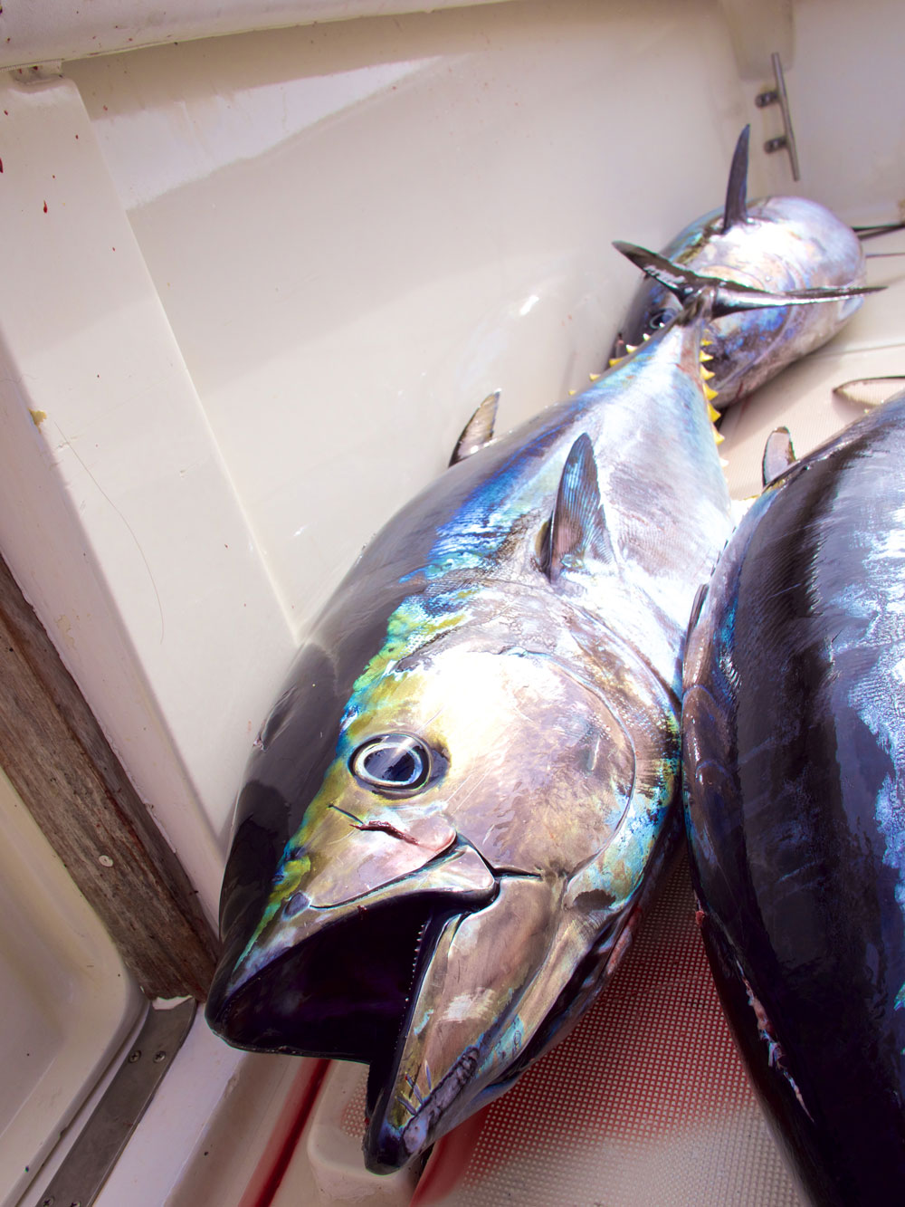 Feed your soul.  Feed your family.  Blue Fin Tuna.